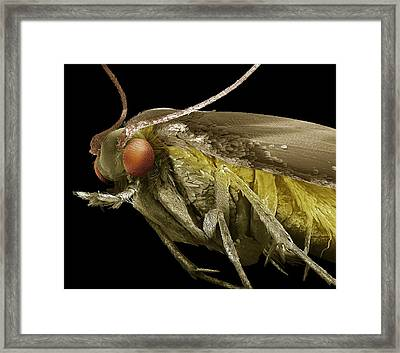 Common Clothes Moth Framed Print by Clouds Hill Imaging Ltd
