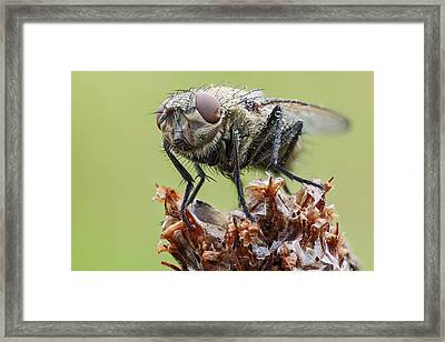 Common Cluster Fly Framed Print by Heath Mcdonald