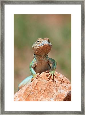 Framed Print featuring the photograph Common Collared Lizard 2 by Elizabeth Budd