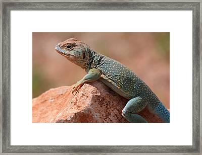 Framed Print featuring the photograph Common Collared Lizard by Elizabeth Budd