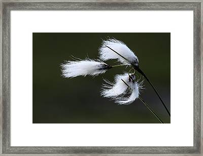 Common Cottongrass Seed Heads Framed Print by Colin Varndell