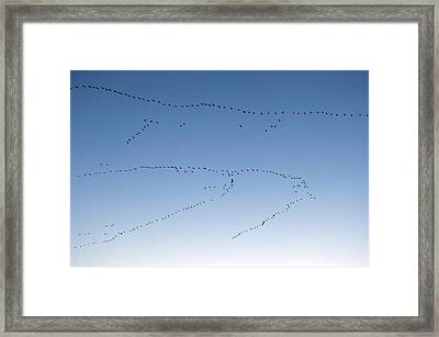 Common Cranes In Flight Framed Print by Bildagentur-online/mcphoto-rolfes