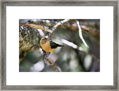 Common Crossbill Female Framed Print by Dr P. Marazzi