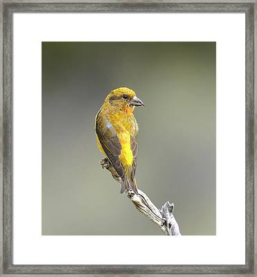 Common Crossbill Loxia Curvirostra Framed Print