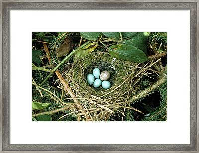 Common Cuckoo Cuculus Canorus Egg Laid Framed Print