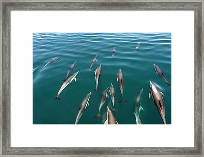 Common Dolphins Bowriding Framed Print by Christopher Swann