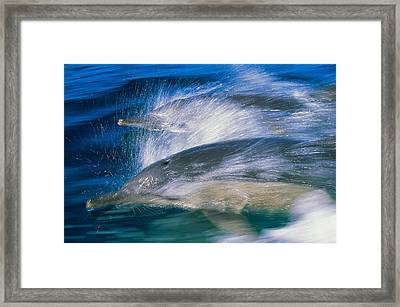 Common Dolphins Breaching In The Sea Framed Print