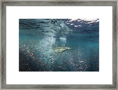 Common Dolphins Hunting Fish Framed Print