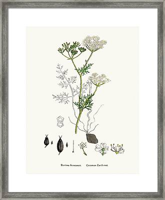 Common Earth Nut Plant Scientific Framed Print by Mashuk