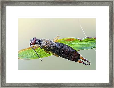 Common Earwig Framed Print by Heath Mcdonald