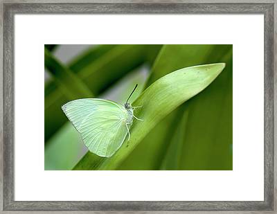 Common Emigrant Butterfly Framed Print by K Jayaram