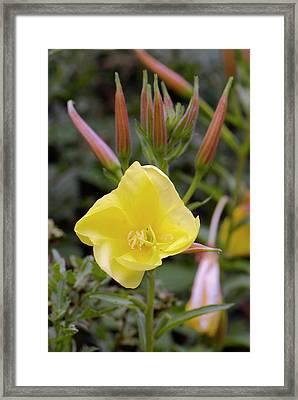 Common Evening Primrose Framed Print