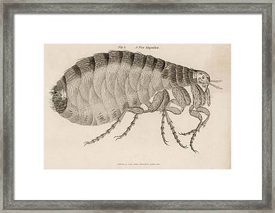 Common Flea (pulex)           Date 1810 Framed Print by Mary Evans Picture Library