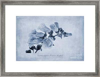 Common Foxglove Cyanotype Framed Print by John Edwards