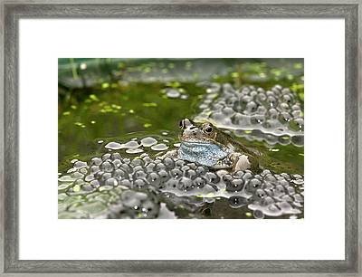 Common Frog And Frogspawn Framed Print