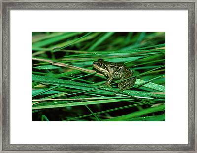 Common Frog Framed Print by Dr Morley Read/science Photo Library.