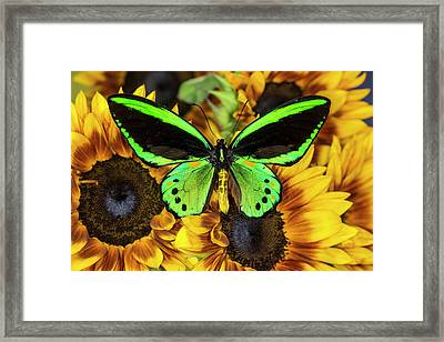 Common Green Birdwing Or The Priams Framed Print by Darrell Gulin