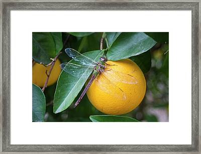 Common Green Darner (anax Junius Framed Print by Larry Ditto