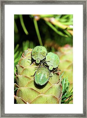 Common Green Shield Bugs Framed Print by Heiti Paves