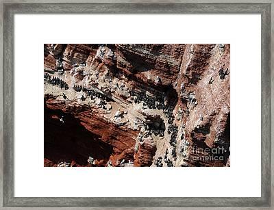 Common Guillemots Framed Print