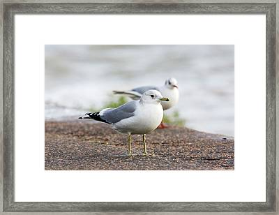 Common Gull And Black-headed Gull Framed Print by John Devries/science Photo Library