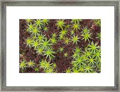Common Haircap Moss (polytrichum Commune) Framed Print by Simon Booth