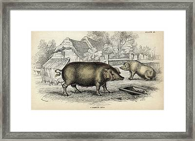 Common Hog Framed Print by Natural History Museum, London