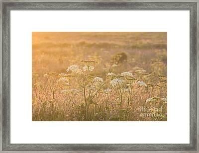 Common Hogweed Sunset Framed Print