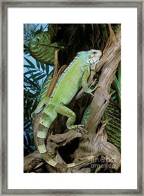 Common Iguana Framed Print