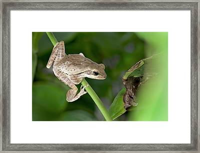 Common Indian Tree Frog Framed Print by K Jayaram