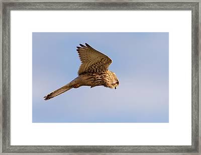 Common Kestrel Hovering In The Sky Framed Print