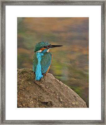 Framed Print featuring the photograph Common Kingfisher by Paul Scoullar