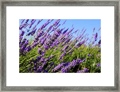 Common Lavender Framed Print by Fabrizio Troiani