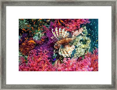 Common Lionfish Hunting A Reef Framed Print