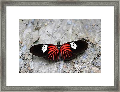 Common Longwing Butterfly Framed Print