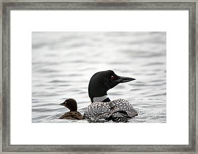 Common Loon And Baby Framed Print by Cheryl Baxter