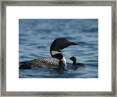 Common Loon Family Framed Print by James Peterson