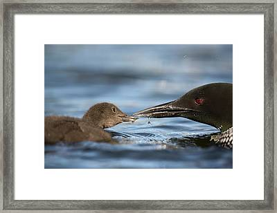 Common Loon Feeding Chick Framed Print