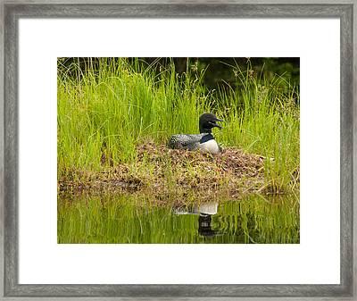 Common Loon Nesting Framed Print