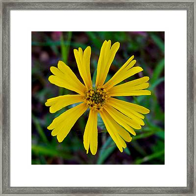 Common Madia In Park Sierra-ca Framed Print by Ruth Hager