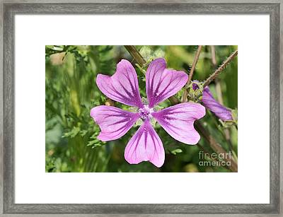 Framed Print featuring the photograph Common Mallow Flower by George Atsametakis