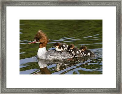 Common Merganser Mother Carrying Chicks Framed Print