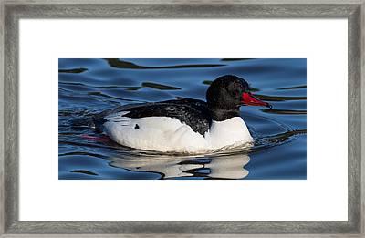 Common Merganser Framed Print by Randy Hall