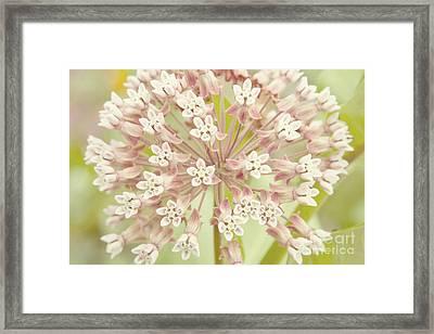 Common Milkweed Framed Print