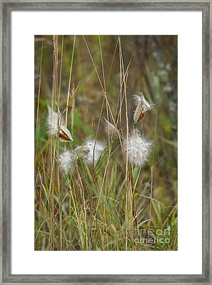 Common Milkweed Framed Print by Linda Freshwaters Arndt