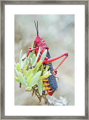 Common Milkweed Locust Framed Print by Peter Chadwick
