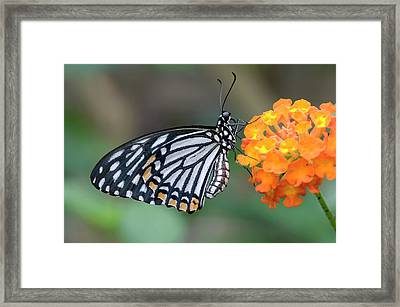 Common Mime Butterfly Framed Print