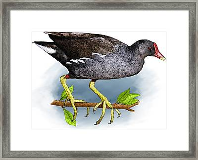 Common Moorhen Framed Print by Roger Hall