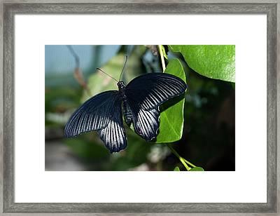 Common Mormon Butterfly Framed Print