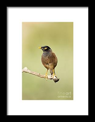 Common Myna Framed Prints